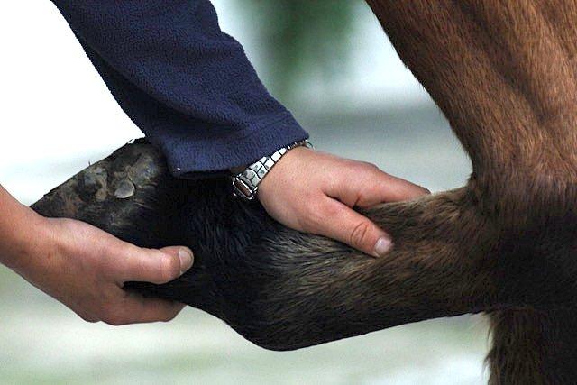 Der Sehnentest am Vorderbein des Pferdes - Andrea Kögler Pferdeosteopathie